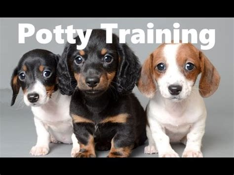 how to potty a house chiweenie i want a puppy breeds picture