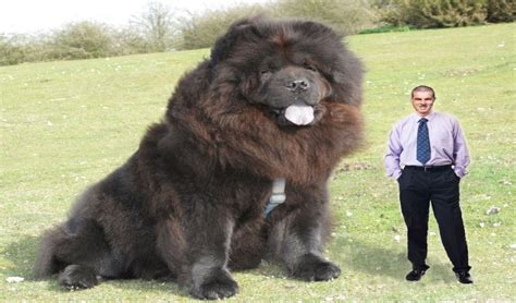 largest in the world dogs world s largest dogs giants