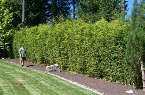 Clumping bamboo landscape ? privacy screen and decoration