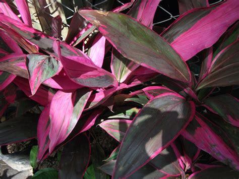Bijibenihbibit Bunga Mirabilis Jalapa Ungu 1 andong cordyline fruticosa l a cheval stovia