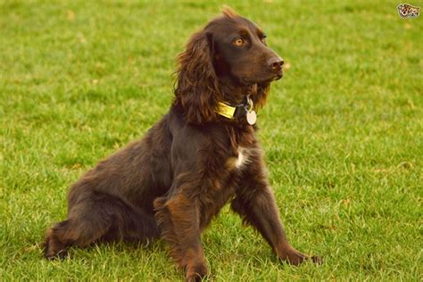 cheapest puppy breeds 20 cheapest breeds which are easy to afford