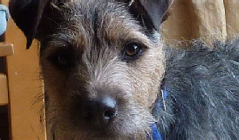 border terrier puppies for adoption terrier rescue dogs for adoption breeds picture