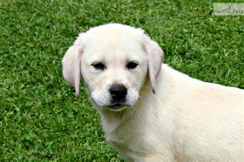 puppy for sale in ma labrador retriever puppies for sale in ma