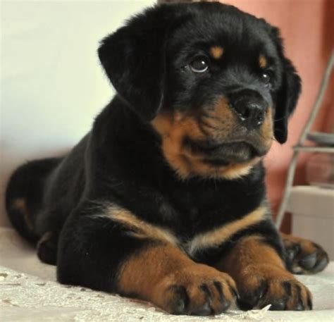 dogs that look like rottweilers 1595 best images about rottweilers on best dogs rottweiler and