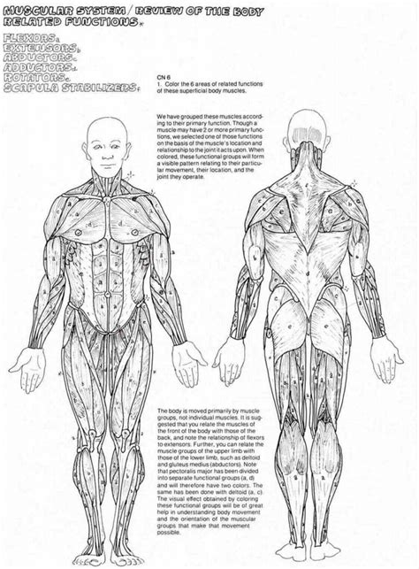 anatomy coloring book worksheets anatomy coloring pages muscles human anatomy diagram