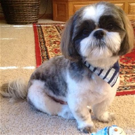best haircut for male shitzuh 11 best images about lhasa apso haircuts on pinterest