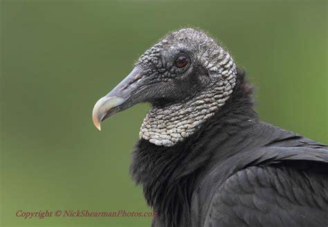 turkey vulture black headed vulture shilohs wildlife
