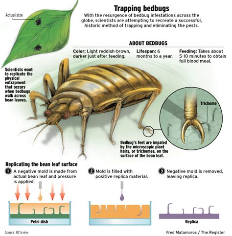 bean leaves bed bugs kidney bean leaves fedhealth blog