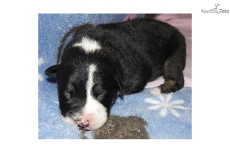 mcnab puppies for sale meet a mcnab puppy for sale for 500 purebred mcnab tri color