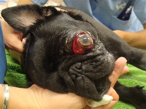 pug eye injury pug with a popped out eye flickr photo