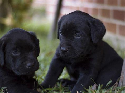 puppies dothan al black lab puppy wallpapers wallpaper cave