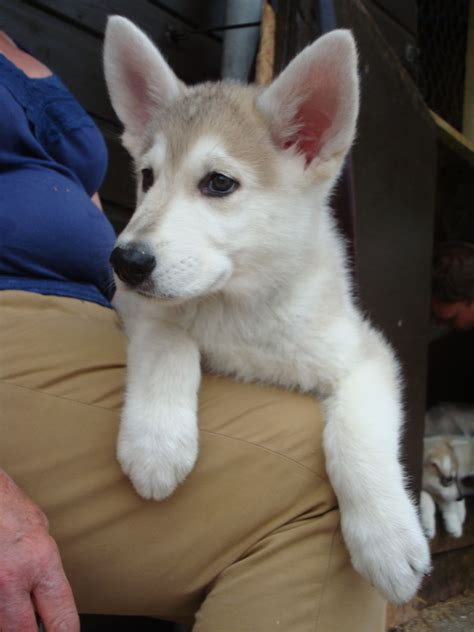 chow husky mix puppies for sale husky chow dogs for adoption breeds picture
