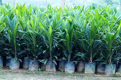 Jual Bibit Sawit jual bibit sawit kualitas unggul jual bibit kelapa sawit