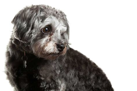 what is the average size of a shih tzu shih poo breed 187 everything about shih poos