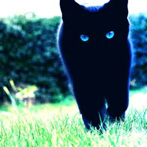 black cat with blue eyes images amp pictures becuo