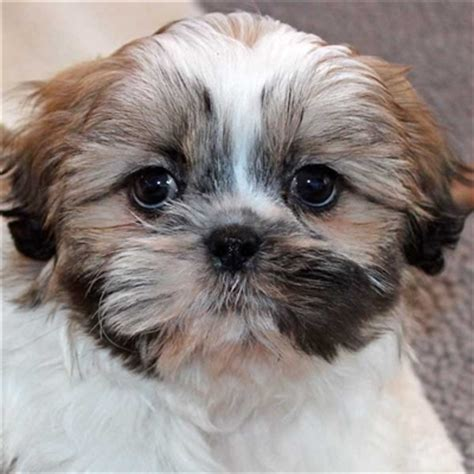 craigslist shih tzu puppies for sale puppy for sale alternative views breed pomeranian date of