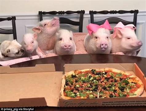 pug dinner set piggies a pizza daily mail