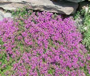 Bibit Benih Seeds Creeping Thyme For Ground Cover creeping thyme thymus serpyllum ground cover 20 000 bulk flower seeds ebay