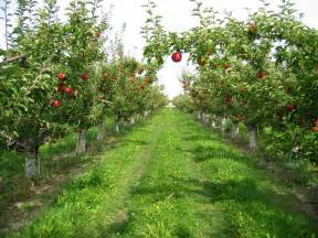 magnon s meanderings apple growing in england