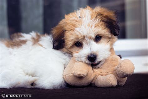 cuddly dogs the 10 most cuddly breeds iheartdogs