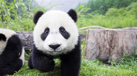 Baby Panda One panda baby wallpaper 1920x1080 13922