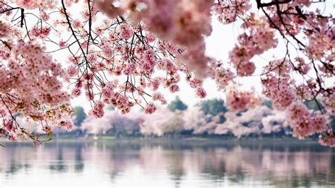 cherry tree 10 miler washington dc cherry blossoms expected to hit peak bloom on march 17 washingtonian dc