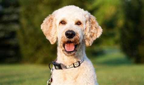 mini goldendoodle health best 25 mini goldendoodle breeders ideas on