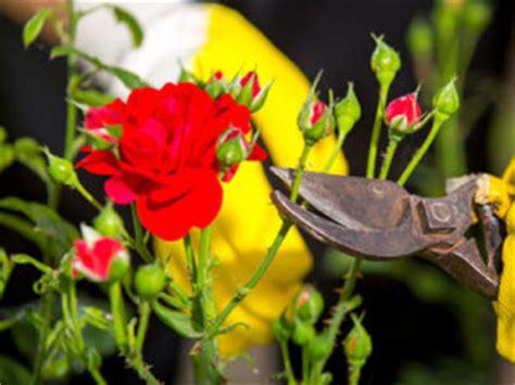 how to deadhead knockout roses garden club - Deadheading Knockout Roses