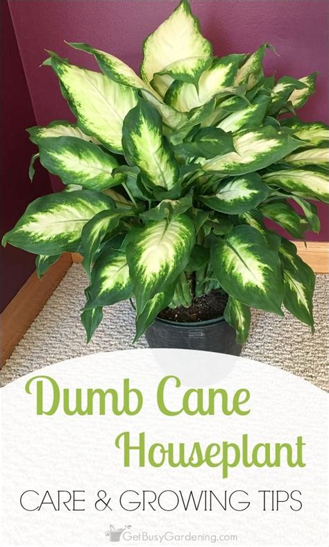 dumb cane dieffenbachia best low light houseplants 1000 images about garden and plants on pinterest how to