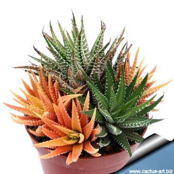 Tanaman Haworthia Reinwardtii haworthia attenuata f variegata