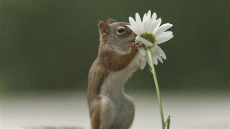 squirrel flower sniffing wallpaper wallpapersfans