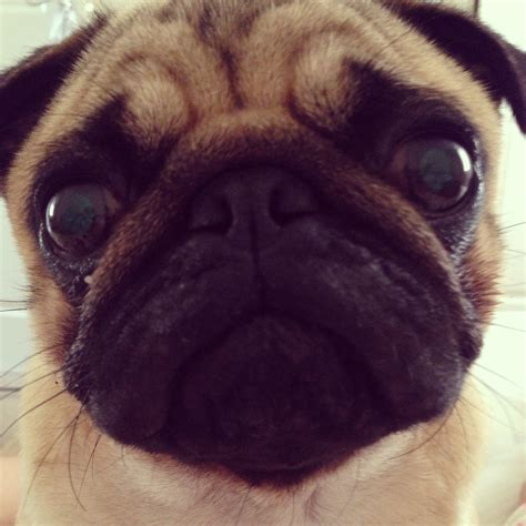 pugs faces search results calendar 2015