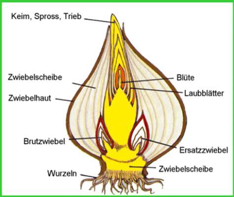 Beschriftung Zwiebelzelle by Fr 252 Hbl 252 3 Medienwerkstatt Wissen 169 2006 2017