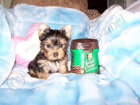 yorkie puppies for adoption in los angeles ca tea cup yorkie puppies for adoption in los angeles california for breeds picture