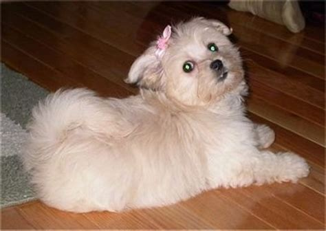 havanese maltese mix puppies havamalt breed information and pictures
