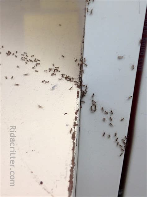 ants in bathtub tiny ants in house small ants in kitchen zitzatcom these