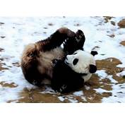 Cool Animals Pictures Pandas Enjoy Winter In China