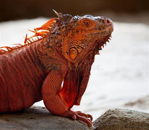 red iguana  sale  baby red iguanas  sale