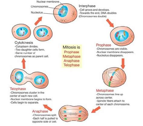 mitosis diagram mitosis biology the o jays mitosis and search