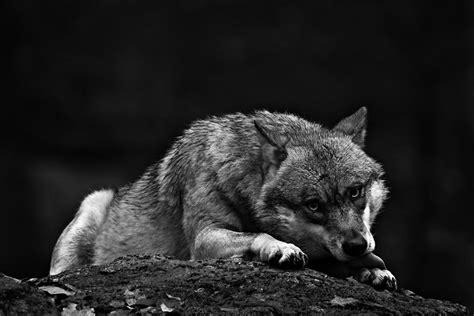 black and white wolf 18 desktop background 22 attractive wolf wallpapers weneedfun