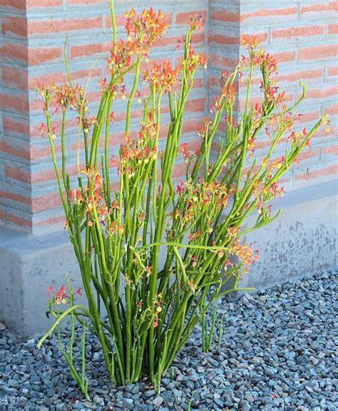 slipper flower succulent pedilanthus macrocarpus slipper plant s slipper
