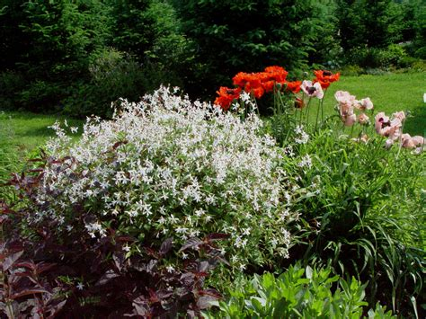 Bush Garden Ta by Gillenia Trifoliata Berkum Nursery