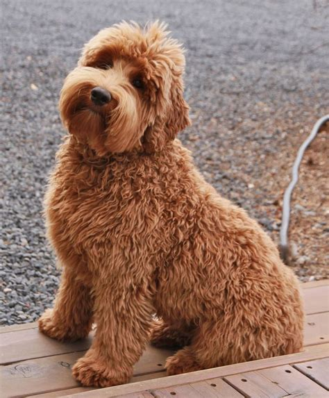doodle combinations in alphabetical order 69 best images about goldendoodle obsession on