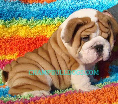 bulldog puppies for sale wi cheap bulldog puppies for sale in wisconsin breeds picture