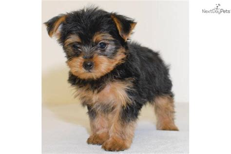 teacup yorkie poo sale yorkiepoo yorkie poo puppy for sale near columbus ohio 3d2e6dee e761