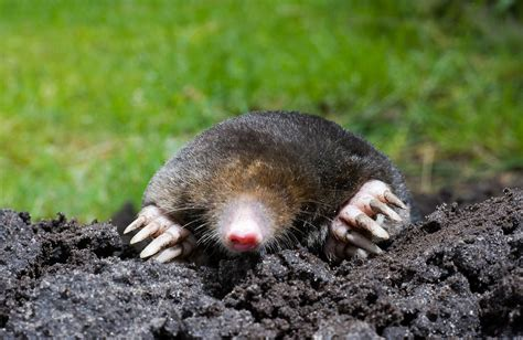 moles in backyard st louis wildlife removal wildlife command center mo