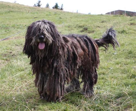 Sheepdog Shedding by Bergamasco Sheepdog Breed Standards