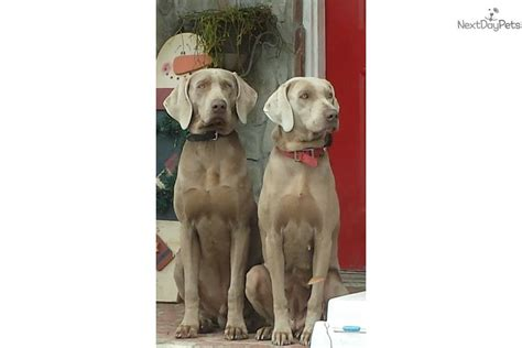 weimaraner puppies near me weimaraner puppy for sale near eastern nc carolina 7240a207 9181
