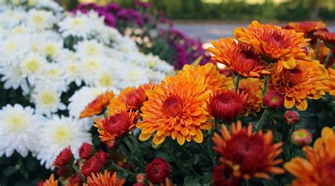 the flower of fall chrysanthemums