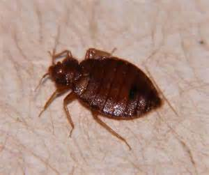 bed bug net bed bug cimex lectularius bugguide net